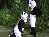 Takhle prcají pandy